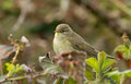 Willow warbler sitting on a branch Stock Photography