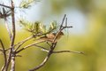 Willow warbler on a tree barnch in spring Royalty Free Stock Photo