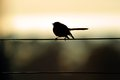 Willy wag tail bird sitting on wire Stock Image