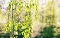 Wilow Trees