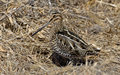 Wilson s snipe basking in the warm sun on an early spring day in central pa usa Stock Photos