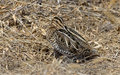 Wilson s snipe basking in the warm sun on an early spring day in central pa usa Stock Image