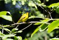 Wilson s warbler a yellow bird Stock Photo