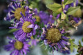 Wilted asters natural light close up Royalty Free Stock Image