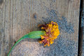 Wilted flower marigold on a sandy deck Stock Images