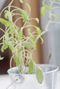 Wilted pot plant herb in a with dry leaves Stock Photography