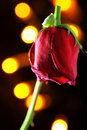 Wilted red rose with light background Stock Images