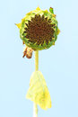 Wilted sunflower Royalty Free Stock Photo