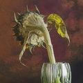 Wilted sunflower rear of turned away in glass vase Royalty Free Stock Image