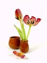 Wilting red tulips with leaf Royalty Free Stock Photo