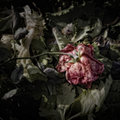 Wilting rose on a compost heap artistically alienated to create a grungy somber atmosphere Stock Photography