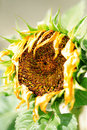 Wilting sunflower Stock Images