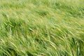Wind in barley field Royalty Free Stock Photo