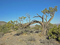 Wind bent Juniper near Red Rock Canyon, Nevada. Royalty Free Stock Images