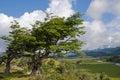 Wind-bent trees in Fireland (Tierra Del Fuego), Patagonia, Argen Royalty Free Stock Photo