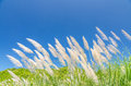 Wind blowing through flower grass under blue sky Royalty Free Stock Photos