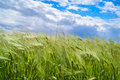 Wind blowing over wheat crop Royalty Free Stock Photo