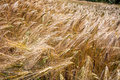 Wind on summer ripening barley field in rural Europe Royalty Free Stock Photo
