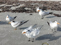 Windblown gulls on sandy beach a small group of seagulls gather a feathers ruffled seaweed in background Stock Photography