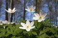 Windflower (Anemone nemorosa) Royalty Free Stock Photography