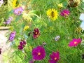 Windflowers growth and bloom at garden fence at fall Royalty Free Stock Photo