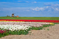Windmill and colorful tulip fields in alkmaar dutch Stock Photos