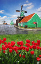 Windmill in holland with canal traditional dutch windmills red tulips close the amsterdam Stock Photo