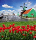 Windmill in holland with canal traditional dutch windmills red tulips close the amsterdam Stock Image