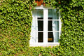 Windo in ivy a white wooden window dense green setting the entire wall is covered on the house there are white curtains and the Royalty Free Stock Photography