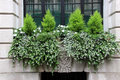 Window box with small conifers classic traditional and white flowers Stock Images