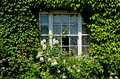 Window cover with green ivy Royalty Free Stock Photo