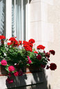 Window Geraniums