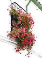 Window with geraniums multicolored on a white wall typicalin the street in andalusia spain Stock Photo