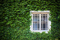 Window and green ivy
