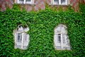 Windows with green ivy closeup detail of two white Stock Images