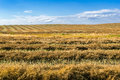 Windrow of canola field windrows and blue sky Stock Photo