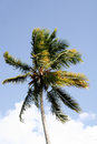 Windy Palm Tree Royalty Free Stock Photography