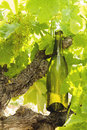 Wine bottle on a vine branch Royalty Free Stock Photo