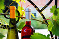 Wine bottles between vine leaves Stock Photo