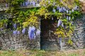 Wine cellar built from stones with purple acacia. Maly Hores, Slovakia