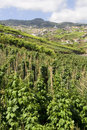 Wine fields on Madeira Stock Photo