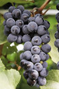 Wine grape Stock Photo