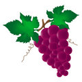 Wine grape Royalty Free Stock Image