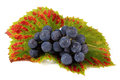 Wine grape cluster with autumn leaves