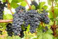 Wine Grape Clusters Stock Image