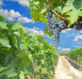 Wine grapes black in zitsa greece sky Stock Photography