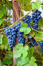 Wine grapes cabernet in yard close up Royalty Free Stock Photography