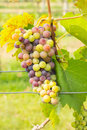 Wine grapes close up in vineyard thailand Stock Images