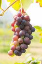 Wine grapes close up in vineyard thailand Stock Photography