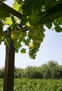 Wine grapes growing Royalty Free Stock Images